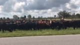 Hundreds of cows saved from flooded ranch in Okeechobee
