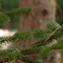 Christmas trees going fast, farmer credits media reports of shortage