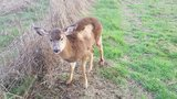Fish & Wildlife trooper rescues deer trapped in rural Yamhill Co. fence