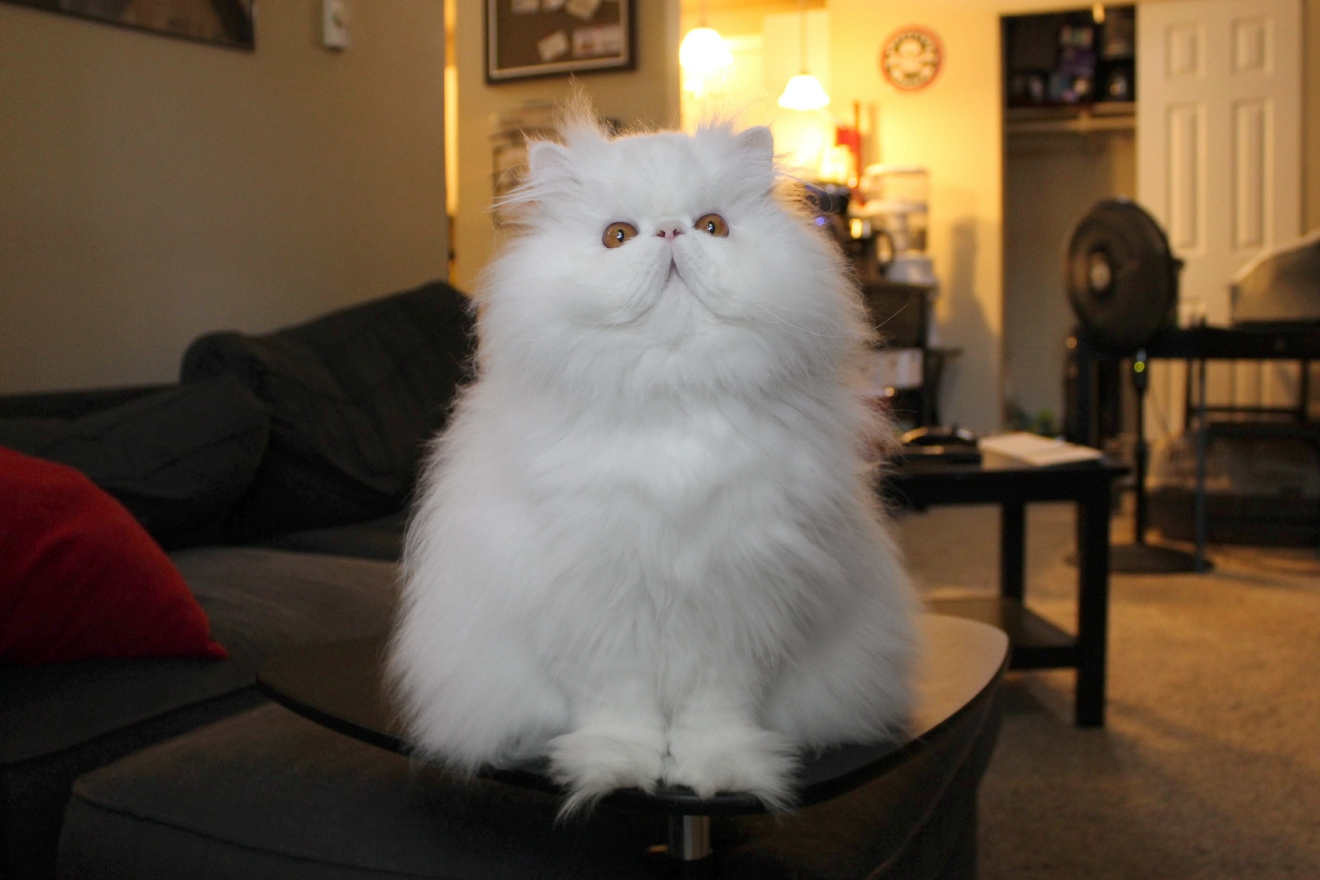 Brimley - America's Next Cat Star (Image: Courtesy R.J. Lacount for Brimley's Instagram)
