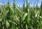 Corn damaged on Randy Geiger farm near Reedsville.JPG