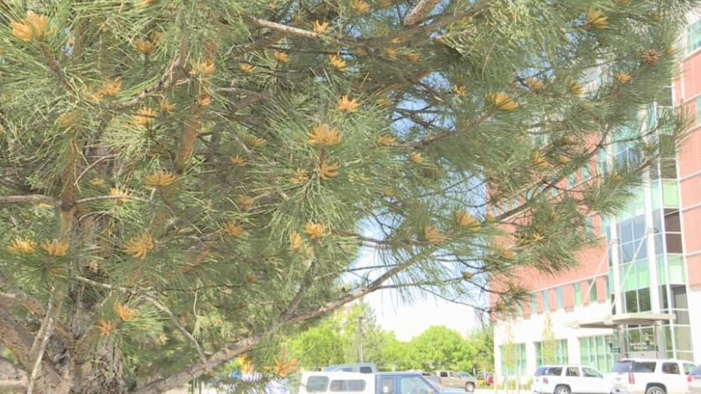 Pollen counter says Boise tree pollen is abnormally high | KBOI