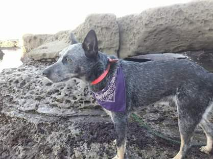 &quot;Blue&quot; is missing. The Heeler was last seen wearing a red harness, in the area of Highway 99 and Highway 198.{&amp;nbsp;}<p></p>