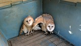 What a hoot! Feathered stowaways travel from central Ore. in hay truck