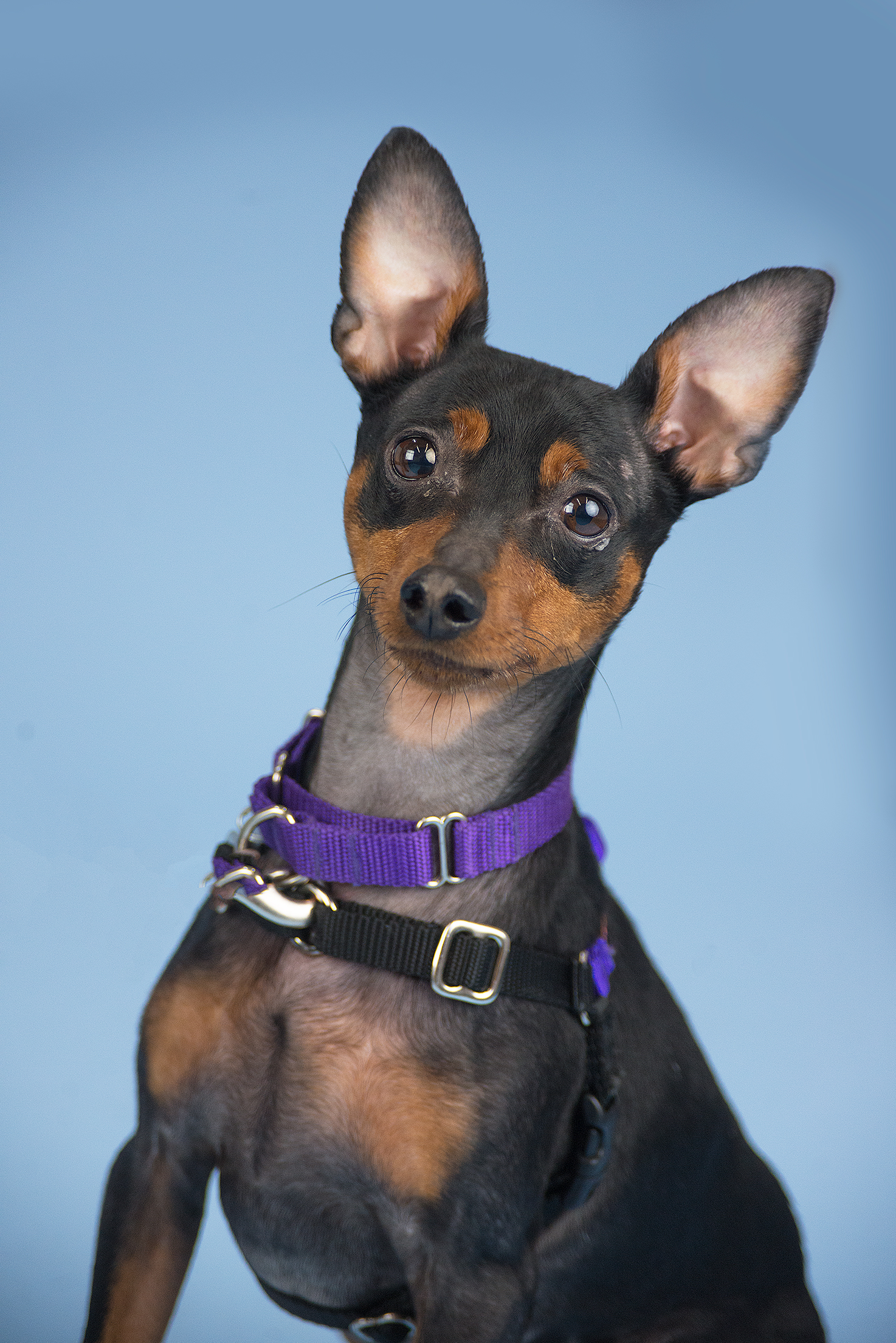 My name is Hank! I'm an energetic six-year-old miniature pinscher who's always ready to run! I'd love to be your only furry friend at home. I'm a great conversation holder and a loyal friend. I hope that my family will respect my love for food and my need for space and privacy at meal time and know that I love them all the same. Come meet me today!<p></p>