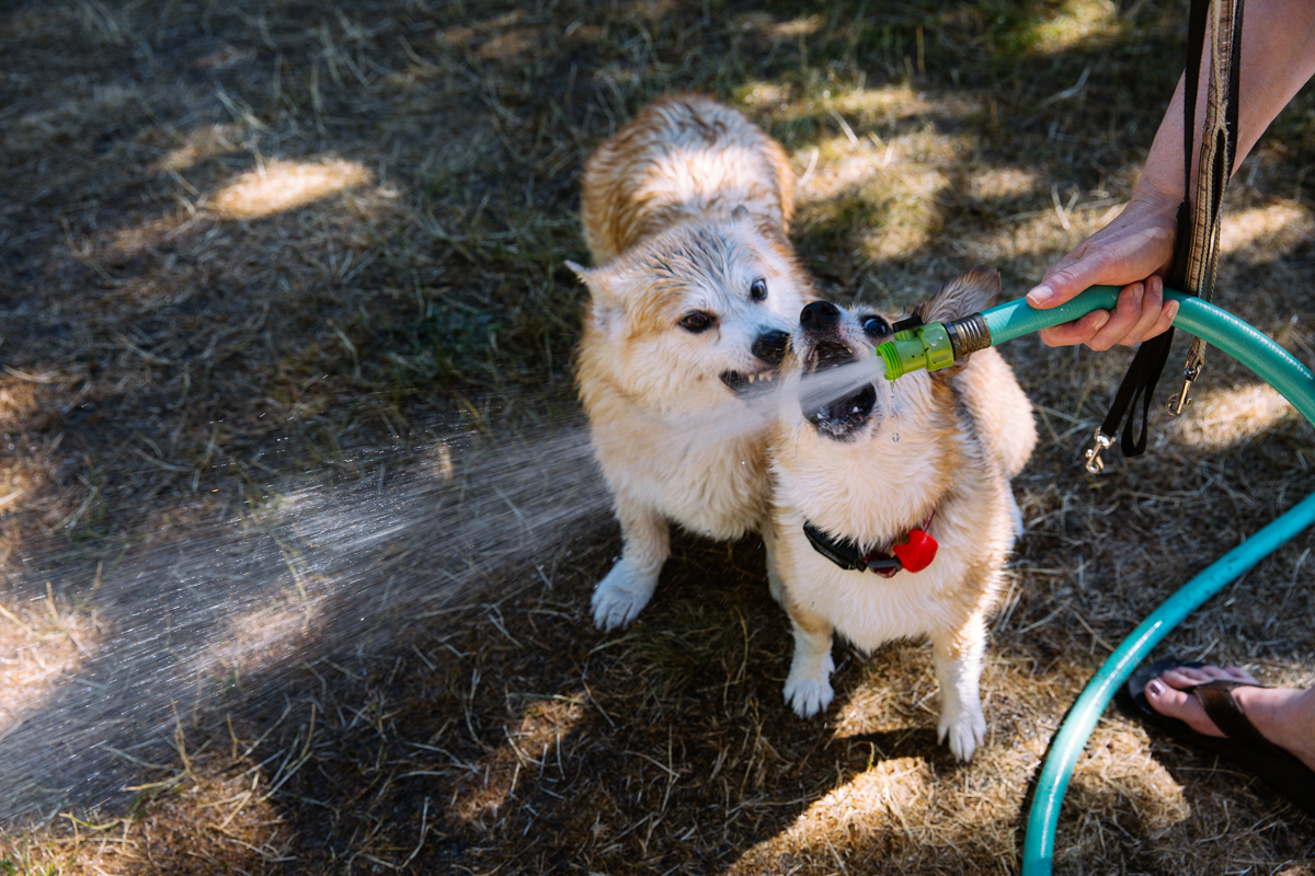 Over 150 owners and corgis came out to the 2015 Pacific Northwest Corgi Picnic in Woodinville, WA. Kathy and Leo Notenboom hosted the annual event at their home which raised money for CorgiAid, a not-for-profit corgi assistance organization. You can find out when the next Corgi Meet up is at the corgi meet up group here. August 1st, 2015. (Joshua Lewis / Seattle Refined)