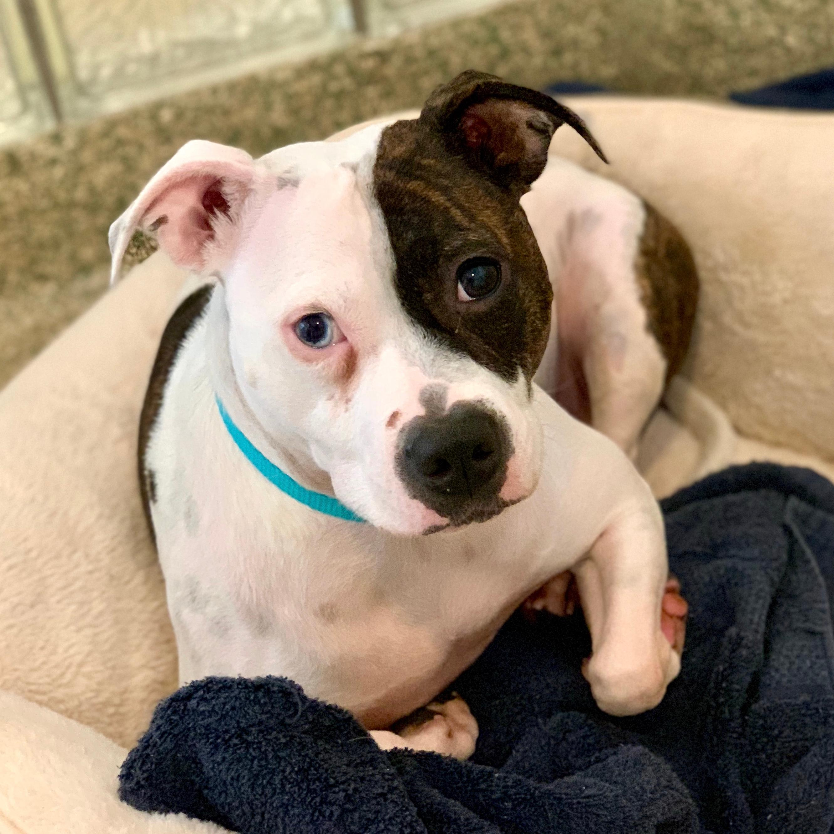 Coria is looking for a new home where she can enjoy plenty of cuddle time (her favorite activity) and a family that will help her continue to work on her confidence. (Image: Courtesy HRA){ }