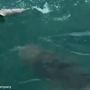 Shark taken down by 500-pound goliath grouper