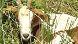 Goats help with vegetation near the Cedar Valley Nature Trail