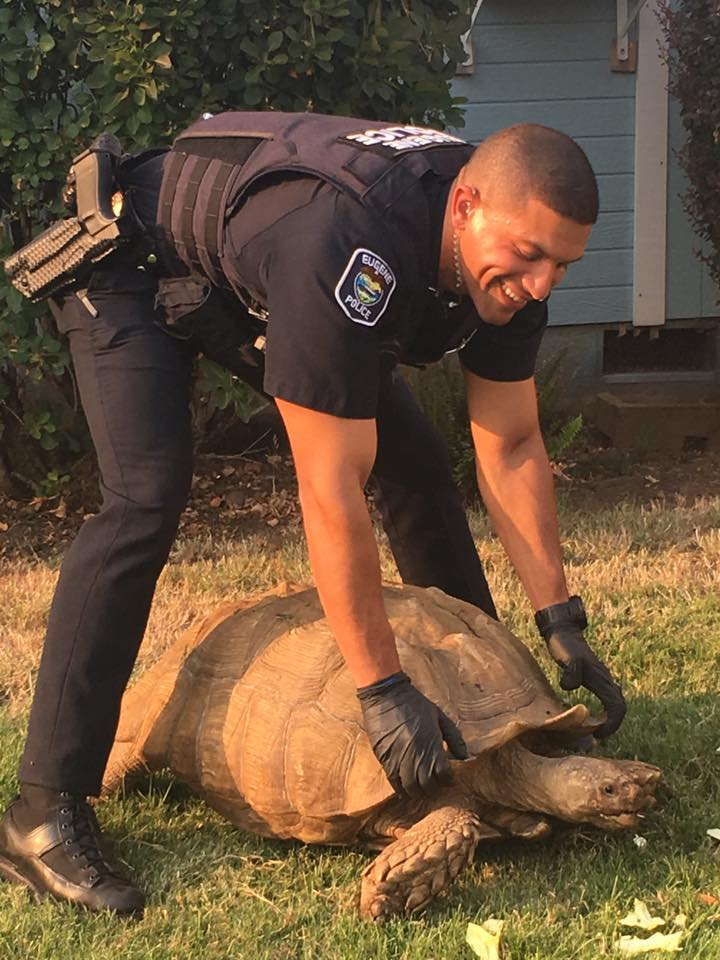 Police took a tortoise into custody Monday after a slow-speed chase. (EPD photo)
