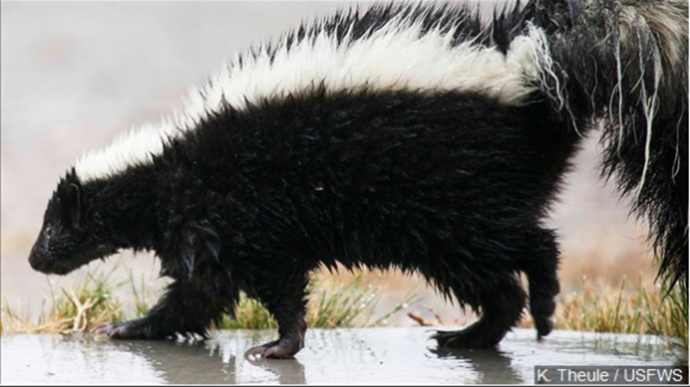 Skunk found on west side of Pampa tests positive for rabies