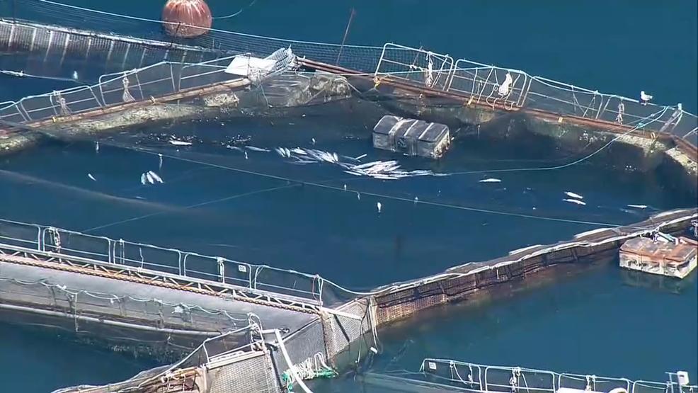 Washington state halts salmon farm permits after fish for Washington state fish