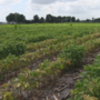 Farmers beware of possible soil-born disease in soybean crops