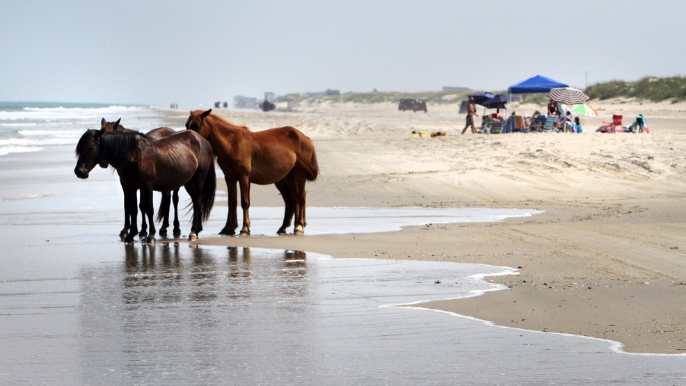 Advocates look for volunteers to protect NC wild horses