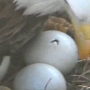 Decorah North Nest eagles beginning to hatch