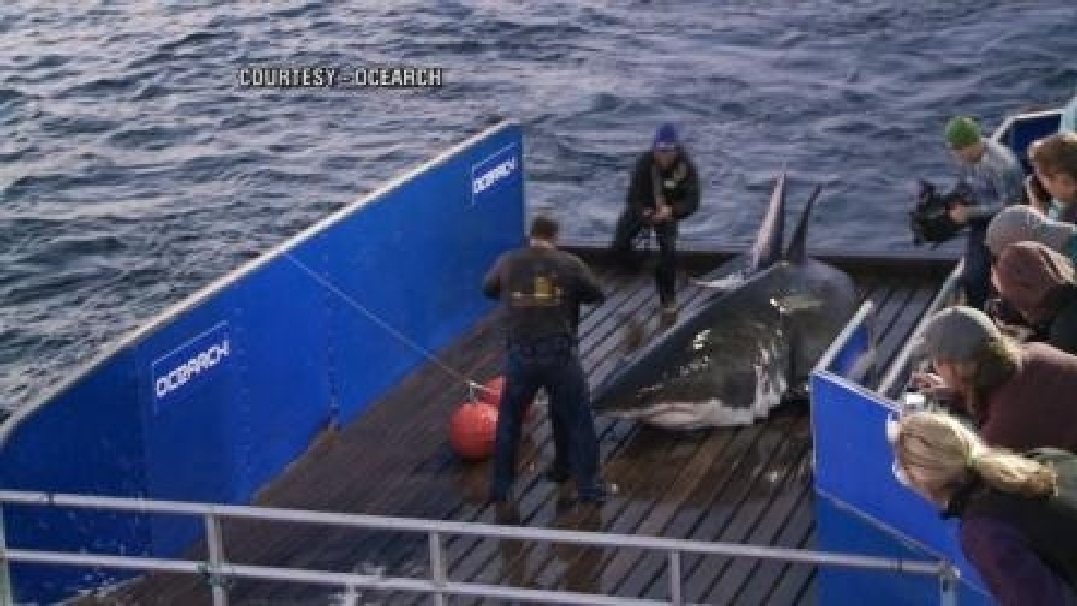 Great white 'Mary Lee' in Bulls Bay, says OCEARCH | WCIV