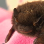 8 rabid bats captured in Washington this year