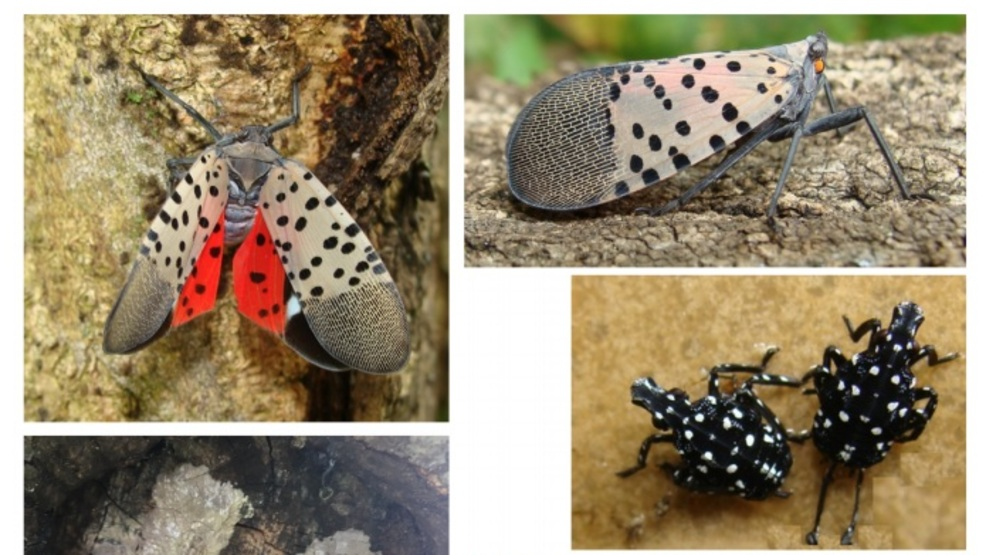 Two adult Spotted Lanternflies found in Virginia