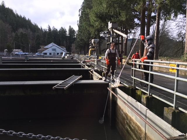 Coho salmon rescued from a hatchery in the Columbia River Gorge during the Eagle Creek Fire are now ready to leave the Leaburg Hatchery in Lane County for release into the wild. (SBG)