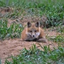 Possible rabid fox captured on Samford campus
