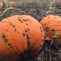 Douglas County pumpkin farmers see changing tastes in what's popular