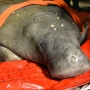 Wayward manatee captured off Cape Cod is pregnant