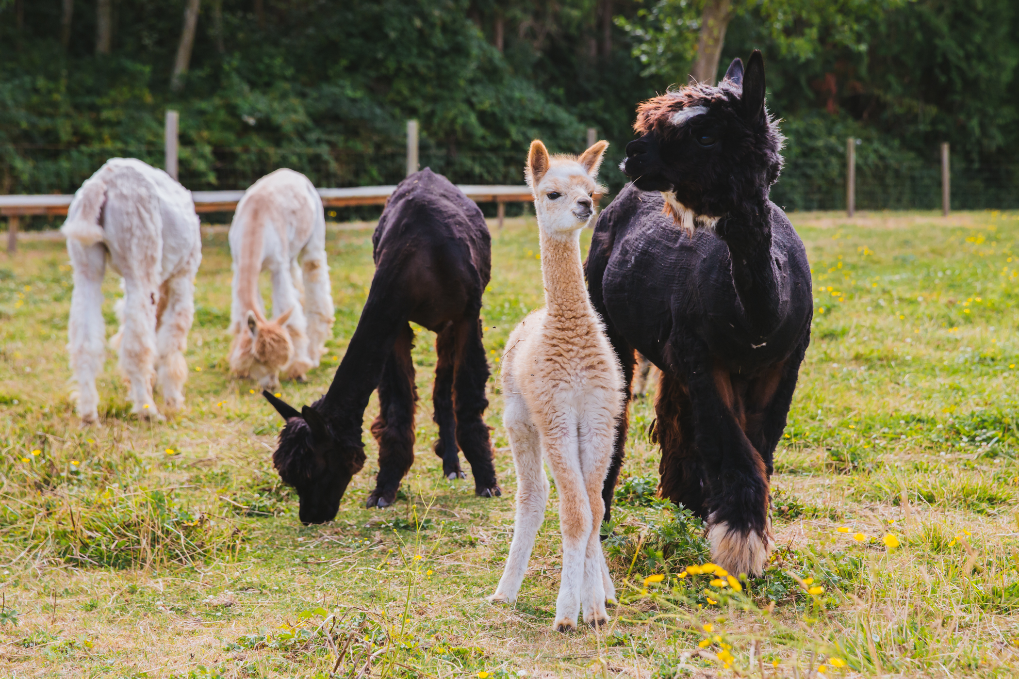 "Solcita and Lana Linda are a RUFFined Spotlight first for us - alpacas! These little huacaya alpaca girls are one month old, born and raised on Camano Island at Alpacas De La Patagonia, which{&nbsp;}<a  href=""http://seattlerefined.com/lifestyle/alpacas-de-la-patagonia"" target=""_blank"" title=""http://seattlerefined.com/lifestyle/alpacas-de-la-patagonia"">we recently profiled</a>. While the duo love milk and playing, they're not so fond of finding their legs...give it time little ones!{&nbsp;}<a  href=""http://seattlerefined.com/ruffined"" target=""_blank"" title=""http://seattlerefined.com/ruffined"">The RUFFined Spotlight</a>{&nbsp;}is a weekly profile of local pets living and loving life in the PNW. If you or someone you know has a pet you'd like featured, email us at{&nbsp;}<a  href=""mailto:hello@seattlerefined.com"" target=""_blank"" title=""mailto:hello@seattlerefined.com"">hello@seattlerefined.com</a>, and your furbaby could be the next spotlighted! (Image: Sunita Martini / Seattle Refined)"