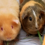 Hundreds of guinea pigs up for adoption after couple dumps them in field, surrenders more
