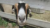 Henson Robinson Zoo adds new goats to barnyard