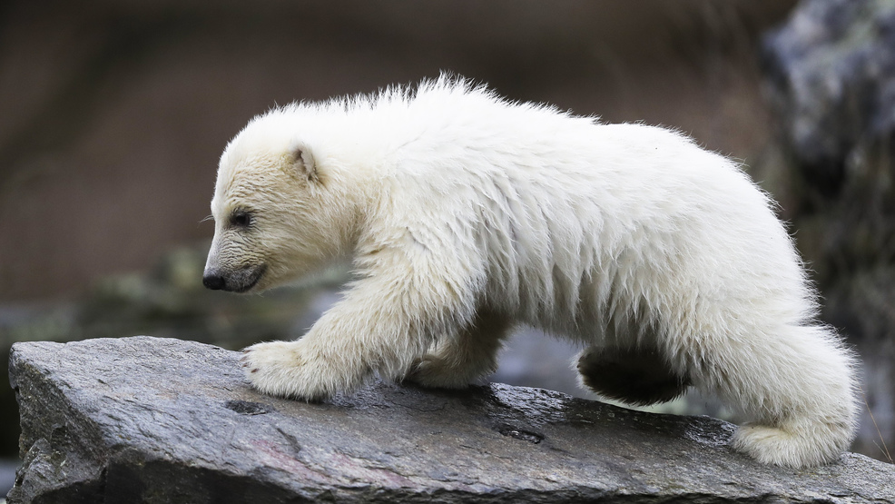 berlin zoo shows off new polar bear cub ksnv. Black Bedroom Furniture Sets. Home Design Ideas