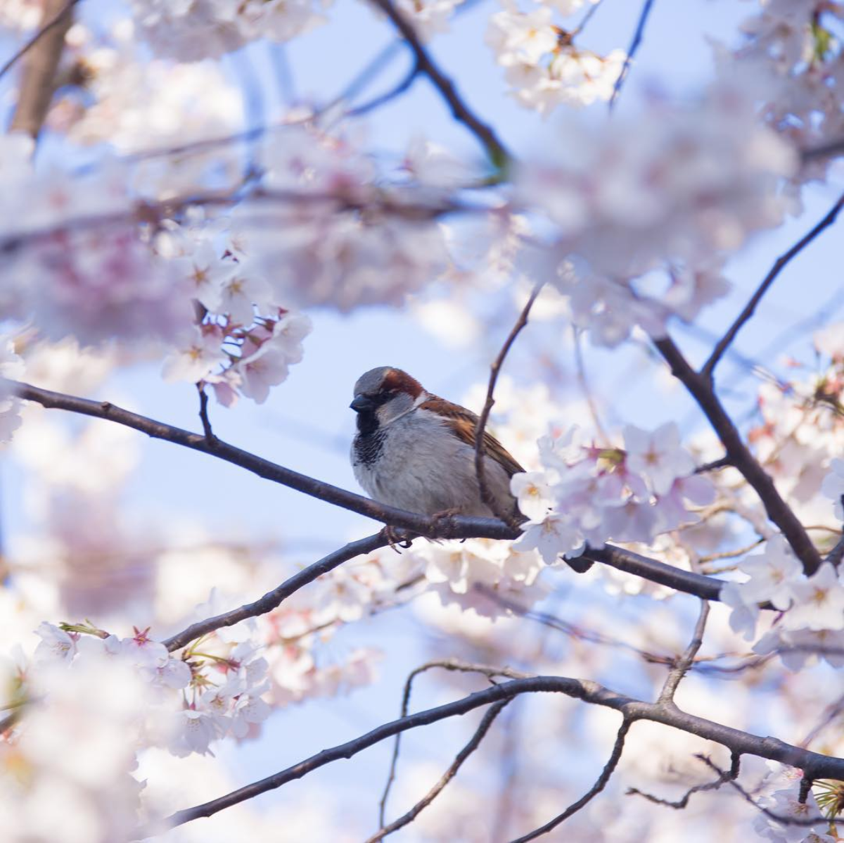 We love all the perspectives different photographers offer on cherry blossoms. (Photo via @kielrah)