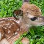 Fawn rescued from side of road by FDL Sheriff's Deputy is doing well