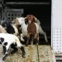 Site of new Walla Walla mall goes to the goats