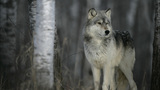 Washington to kill members of wolf pack in Stevens County