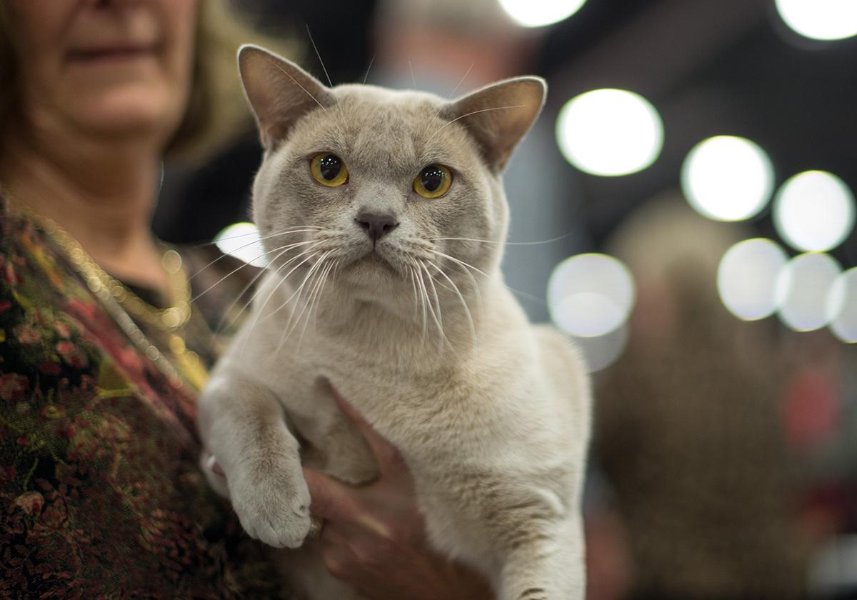 Hundreds of felines filled the Portland Expo Center on Saturday and Sunday for the largest cat show in the nation - the Cat Fanciers' Association International Cat Show. Each year, the show is held in a different city. This is the first time the CFA has chosen to hold it in the Pacific Nourthwest. (Tristan Fortsch/KATU News taken Nov. 18, 2017)