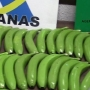 Spain: Drug dealers use fake bananas to transport cocaine