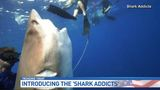 Shark diving without a cage in Jupiter