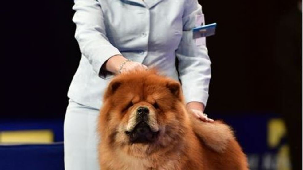 cicero dog to be featured on thanksgiving national dog show wstm