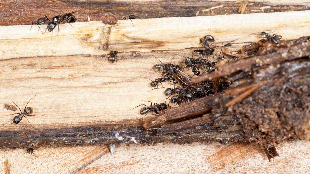 Can Ants Damage Wood Like Termites Do Komo