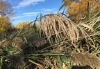 Phragmites grass at Ken Euers Park in Green Bay.JPG