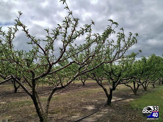 Peach farm in Chilton County prepares for freezing weather, Tuesday, April 15, 2014.