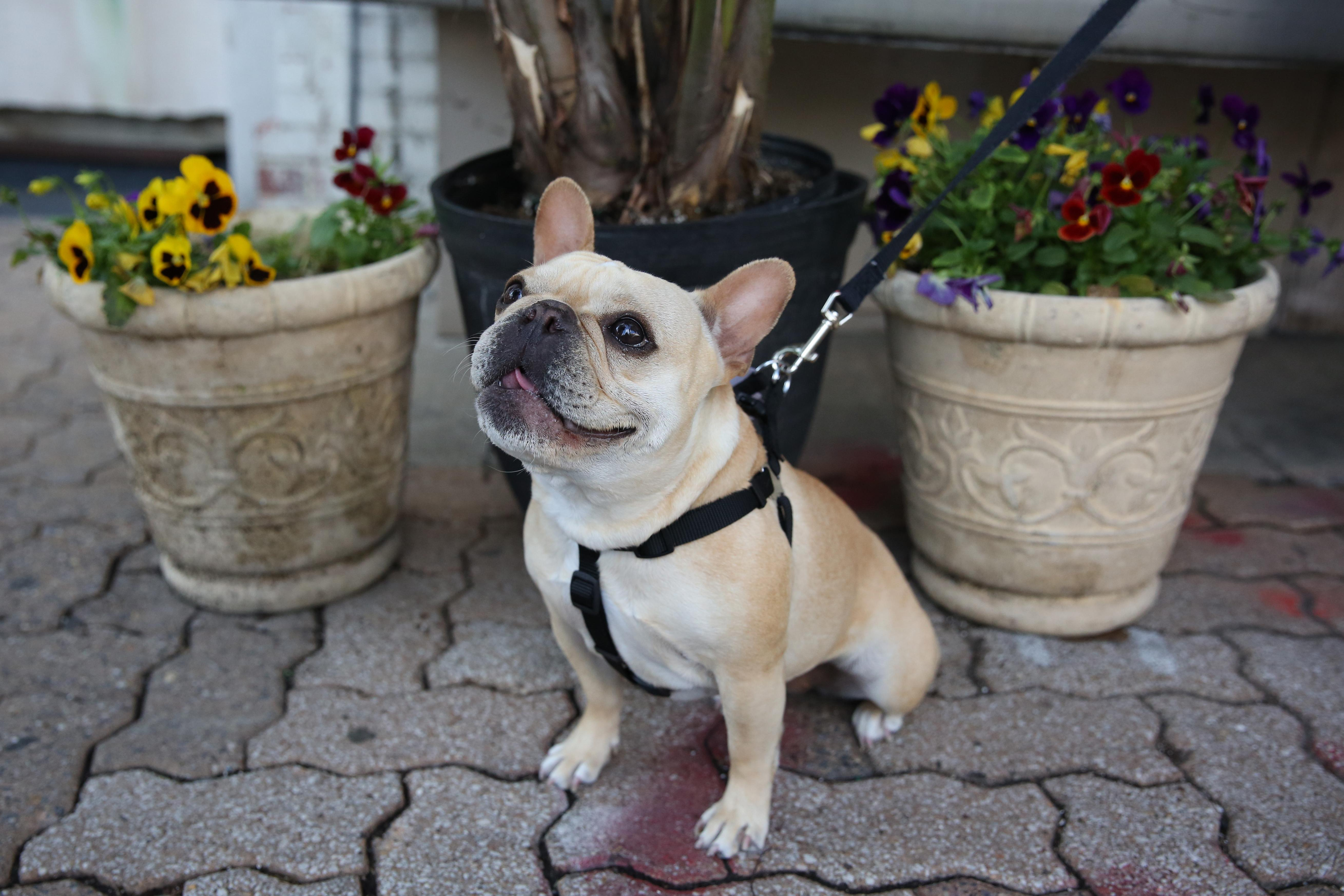 Meet little Miss Penelope, a 2.5-year-old French Bulldog who completed her little family when she came home in January 2015. Penelope is the ultimate cuddle buddy and just wants to be close to people all day every day. She has a long list of likes: peanut butter, licking people's faces, peanut butter, sitting on your feet to keep you from leaving, peanut butter, snuggling with her humans, a good sun spot to lay in... and did we mention peanut butter?  Her only dislikes are weather-related: rain and snow. She's highly skilled at fitting herself into smaller spaces than one would expect -- like under the bed, under chairs, etc. and she's convinced she's winning the battle against both the vacuum and the Swiffer. You can follow all of this little diva's adventures on her Instagram @MissPenelopeFrenchie! If you or someone you know has a pet you'd like featured, email us at dcrefined@gmail.com or tag #DCRUFFined and your furbaby could be the next spotlighted! (Image: Amanda Andrade-Rhoades/ DC Refined)