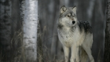 Wolf advocates outraged that state preparing to kill wolves