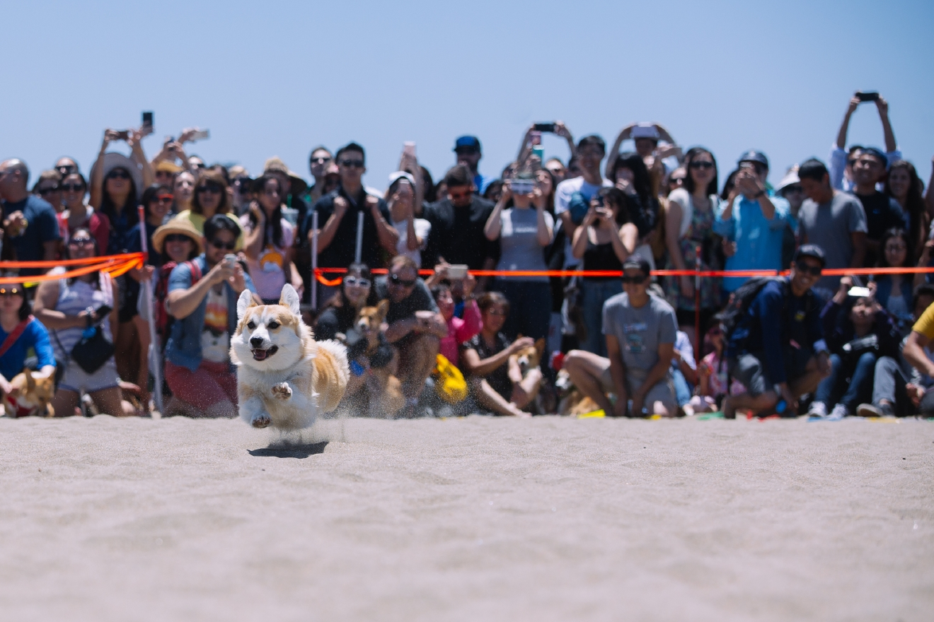 More than 600 corgis came to Ocean Beach in San Francisco for the 2016 Summer edition of Corgi Con. Corgi Con is a meet-up that features hundreds of corgi's, corgi merchandise, a costume contest, a corgi race, raffles and more with donations being made to Queen's Best Stumpy Dog Rescue and Corgi Aid. Hundreds more people come to celebrate everything corgi even if they don't have their own corgi. June 25th 2016. (Image: Joshua Lewis / Seattle Refined)