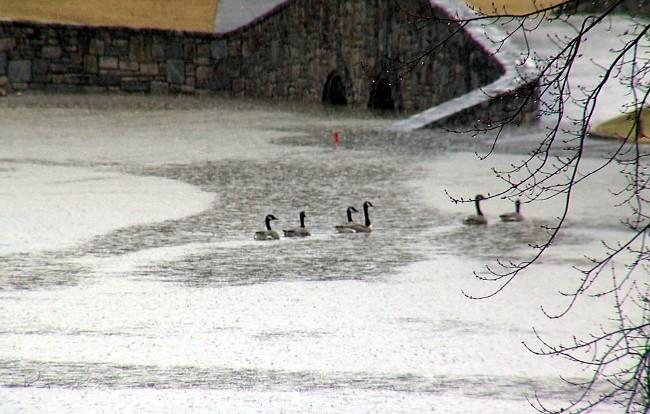 A flock of geese float in a flooded pond at Greystone on Wednesday.