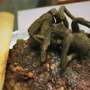 North Carolina restaurant serving up 'tarantula burger'
