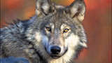 Wolf advocates outraged over plan to kill E. Wash. wolf pack