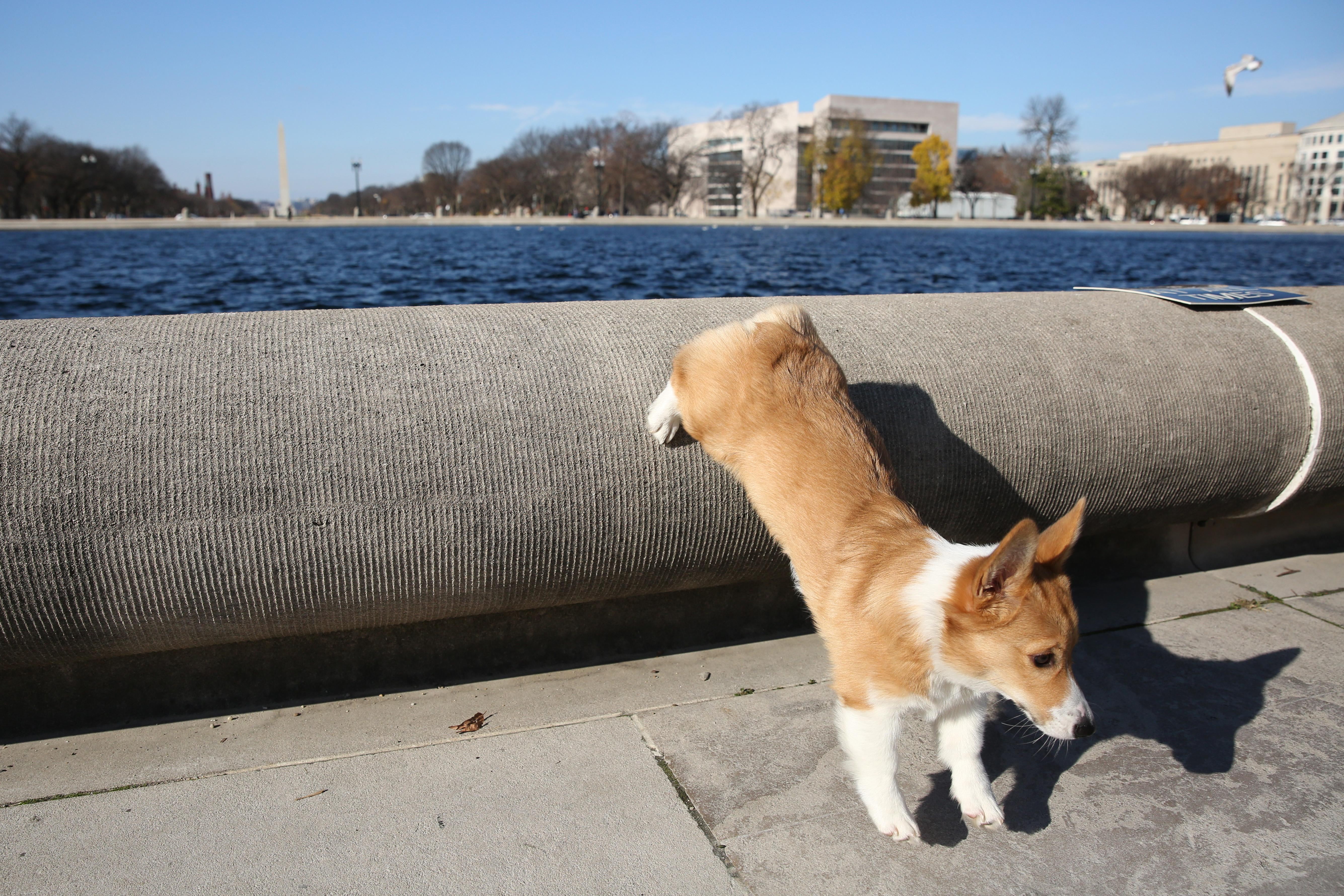 Meet Flex, a one-year-old  Welsh Pembroke Corgi who loves belly rubs and yoga stretches, but hates the vacuum. (Amanda Andrade-Rhoades/DC Refined)