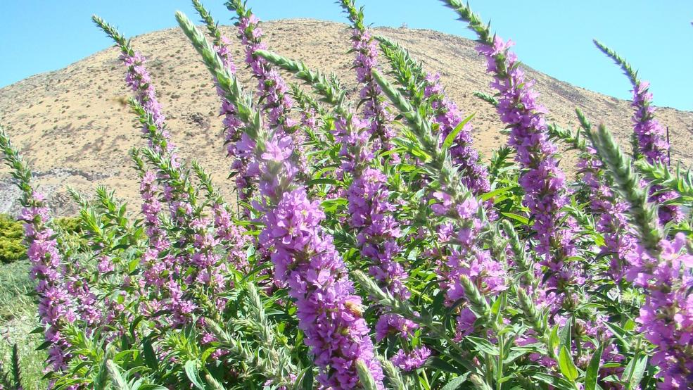 Free green industry class to discuss noxious weed identification and purple loosestrife a noxious weed is easily identified by spikes of purple flowers that bloom early july through september photo by wendy hanson mazet mightylinksfo