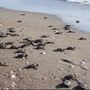 Cute Video: Turtle hatchlings make a run for it